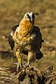 Bearded Vulture - Catalan Pyrenees - Spain S4E8226 (24921046590).jpg