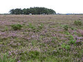 Beaulieu Heath, New Forest - geograph.org.uk - 43446.jpg
