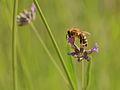 Bee on Lavender Blossom.JPG