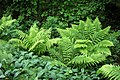Beech, ferns and lily of the valley in Gullmarsskogen 3.jpg
