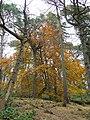 Beech tree at Cliff Terrace Road - geograph.org.uk - 1039801.jpg