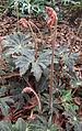 Begonia heracleifolia var nigricans kz3.JPG