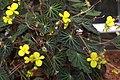 Begonia pearcei GotBot 2015 001.jpg
