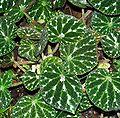 Begonia pustulata (petals) - Botanical Garden Cologne.jpg