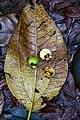Bellucia pentamera (Melastomataceae) (30139447495).jpg