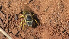 File:Bembix oculata - 2012-10-17.webm