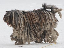 Bergamasco shepherd dog - merle female cropped.jpg