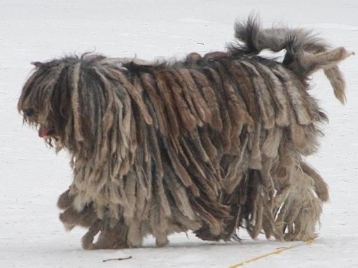 Bergamasco shepherd dog - merle female cropped