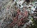 Biatoropsis usnearum Räsänen 407232.jpg