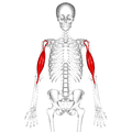 Biceps brachii muscle16.png