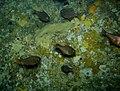 Big eye fish - Poor Knights Islands.jpg