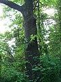 Big oak tree on the descent to Innsbruck.jpg