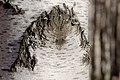 Birch (Betula) bark.jpg