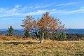 Birch - Hornisgrinde.jpg
