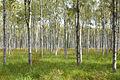 Birch Forest in Mazury.jpg