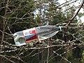 Birch sap, 2011-04.jpg