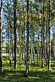 Birches in a pasture in Gullmarsskogen 1.jpg