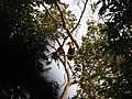 Bird Wreathed Hornbill Rhyticeros undulatus IMG 9195 (2).jpg