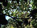 Bird Wreathed hornbill Rhyticeros undulatus IMG 7837 01.jpg