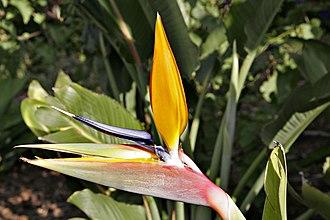 Strelitzia reginae - Image: Bird of paradise flower