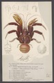 Birgus latro - - Print - Iconographia Zoologica - Special Collections University of Amsterdam - UBAINV0274 006 02 0007.tif