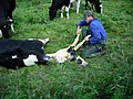 Birth of a calf - geograph.org.uk - 1420858.jpg