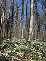 Blühende Märzenbecher am Honigbuck im Freiburger Mooswald.jpg