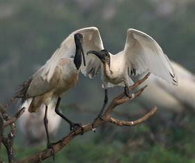 Black-headed Ibis (Threskiornis melanocephalus)- juvenile asking for food from adult W IMG 3343.jpg