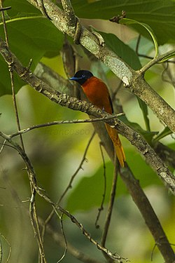 Black-headed Paradise Flycatcher - Ghana S4E2878 (19257320188).jpg