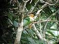 Black-headed Parrot, Sani Lodge canopy tower, Sucumbíos, Ecuador, July 12, 2004 (6897991533).jpg