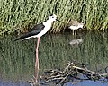 Black-winged Stilt Adult and chick - Flickr - Lip Kee.jpg