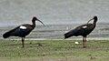 Black Ibis (Pseudibis papillosa) W IMG 0050.jpg