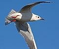 Black headed gull (6801490167).jpg