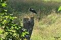 Black stork (Kocioł) (10942894473).jpg