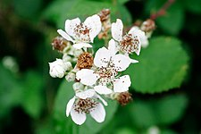 Blackberry flowers.jpg
