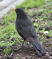Blackbird in Madrid (Spain) 19.jpg