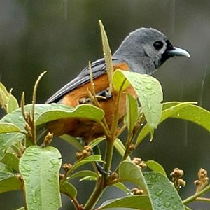 Monarch flycatcher - Black-faced monarch