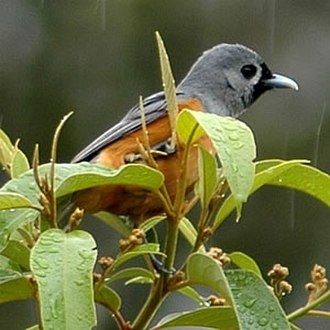 Monarch flycatcher - Black-faced monarch