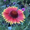 Blanketflower - Gaillardia aristata IMG 6101.jpg