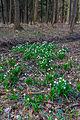 Bledule jarní v PR Králova zahrada 16.jpg