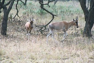 Blesbok - Juvenile blesboks