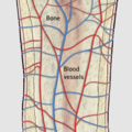 Blood vessel networks in bone.png