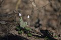 Bloodroot (Sanguinaria canadensis) - London, Ontario 2015-04-18 (02).jpg
