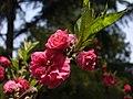 Blossom (3397796353).jpg