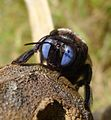 Blue-eyed Carpenter Bee. Xylopa species. Xylocopinae - Flickr - gailhampshire.jpg
