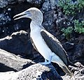Blue-footed Booby (32858376167).jpg