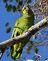 Blue-fronted Amazon (Amazona aestiva) - Flickr - berniedup.jpg