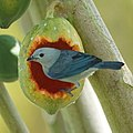 Blue-gray Tanager eating a papaya (16482907797).jpg