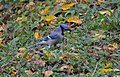 Blue Jay (22666783381).jpg