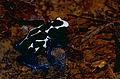 Blue Poison Dart Frog (Dendrobates tinctorius) (10673045933).jpg